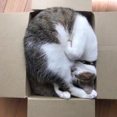 段ボール/お昼寝/猫/にゃんこ同好会/おやすみショット