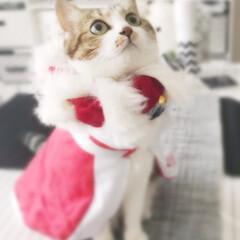 王様風/きじとら白/猫のいる暮らし/フライングタイガー/クリスマスコスプレ/モノトーンインテリア/...