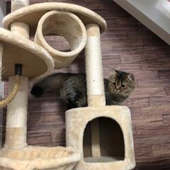 キャットタワー/ペット/猫 朝から活動的なキズナ君💕キャットタワーを…
