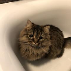 ペット/猫/にゃんこ同好会/住まい 居ない!と思ったら… 浴槽内に居ました😅…
