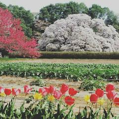 お出かけ/桜/おでかけ 吉高の大桜