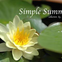 睡蓮/夏/夏の花/日本の夏 数年に一度花を咲かせる、我が家の睡蓮はレ…
