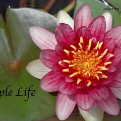 睡蓮/紅/夏の花/日本の夏 毎年必ず花を咲かせる、紅色の睡蓮は、亡き…