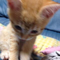 かわいい/可愛い/茶トラ/子猫/ぬいぐるみ/フォロー大歓迎/... ぬいぐるみ😍 写真ブレブレ😭