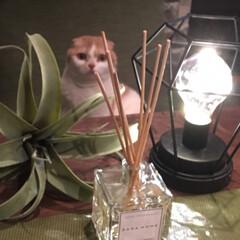 Zara home/癒し/フレグランス/LIMIAペット同好会/にゃんこ同好会/暮らし 毎回、ZARA HOMEへ行く度にこの匂…