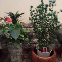 観葉植物/ベンジャミナ バロック/グリーンのある暮らし ずっと気になっていた観葉植物! 葉っぱが…