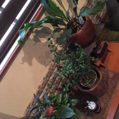観葉植物のある暮らし/わたしのお気に入り いつも直ぐに枯らしてしまう私😅💦 今回は…