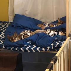 新築/妹の家/ペット/犬/わんこ同好会 お正月🎍妹の新しいお家へ🏠 1枚目、鈴♀…(2枚目)