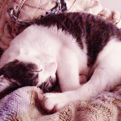 にゃんこ同好会/おやすみショット 大好きなnicoの寝姿。 いい夢みてね❤︎