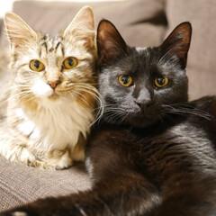 多頭飼い/保護猫/cat/猫と暮らす/猫と共生/猫と暮らす ペット共生/... ちーたんとみーくん、キョウダイ猫