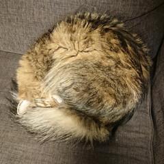保護猫/多頭飼い/猫のいる生活/猫のいる暮らし/猫と暮らす/猫/... ねーこはソファーで丸くなる~🎶っていうか…