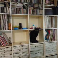 保護猫/猫のいる生活/多頭飼い/猫のいる暮らし 壁面棚の中身を出して拭いてたら、ちょっと…