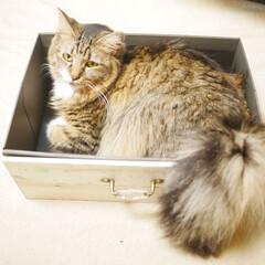雑種/雑種猫/長毛猫/保護猫/多頭飼い/猫/... うちの箱入り娘、ちーたんです。しっぽがふ…
