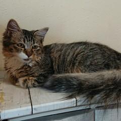 猫と暮らす/猫と暮らす ペット共生/猫 チーです。保護猫三きょうだいの長毛の女の…