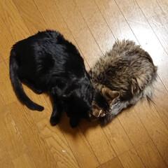 長毛猫/黒ねこ/黒猫/きょうだい猫/猫と暮らす/猫のいる暮らし/... 喧嘩ばっかりしてるみー君とチーだけど、お…