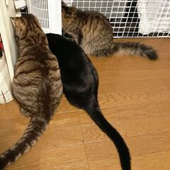 兄妹/多頭飼い/保護猫出身/保護猫/猫 虫でも見つけたのか、急に集まる兄妹たち。…