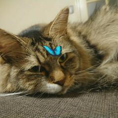雑種猫/長毛猫/猫と暮らす/猫のいる生活/猫のいる暮らし/保護猫 Snowの猫用のフィルター可愛いね!!眠…