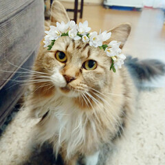 長毛猫/多頭飼い/保護猫/猫と暮らす/猫のいる暮らし Snow の猫用フィルターにはまっている…