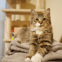 猫部屋/猫と共生/猫と暮らす ペット共生/猫と暮らす/猫 チーです。毛布、ふみふみ中です。