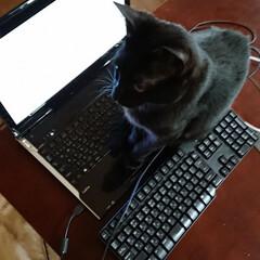 多頭飼/多頭飼い/きょうだい猫/黒猫/ねこと暮らす/猫と暮らす/... パソコンの上に乗らないで下さい😂自宅で仕…