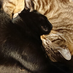 きょうだい猫/多頭飼い/猫と暮らす/ペット/猫 陰と陽?うまい具合に絡み合うみー君とピコ…