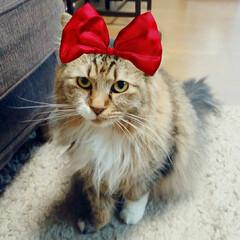 長毛猫/保護猫/多頭飼い/猫と暮らす/猫のいる暮らし あら、チッチちゃんおリボンも似合うじゃに…