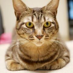 猫のいる暮らし/保護猫/きょうだい猫/多頭飼い/ペット/猫 ピコ丸です。真顔です。先代のニャン吉(チ…(1枚目)