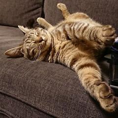 保護ねこ/保護猫/ねこと暮らす/猫と暮らす/猫屋敷/多頭飼い/... 手も足も空中に浮かせたまま寝るピコ丸。い…