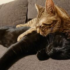 多頭飼い/兄妹猫/きょうだい猫/猫と暮らす/猫 ピコ丸の毛繕いでみーくんは寝てしまいまし…