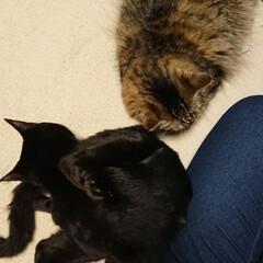 黒猫/長毛猫/きょうだい猫/多頭飼い/猫と暮らす/猫のいる風景/... 今日は寒いので座ってると猫達(みーくん&…