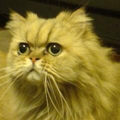 猫のいる暮らし/猫と暮らす/ペルシャ猫/チンチラ/長毛種/長毛猫/... 先代のニャン吉(チンチラゴールデン)です…