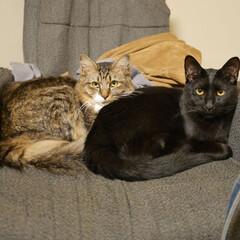 長毛猫/黒猫/多頭飼い/保護猫/きょうだい猫/猫/... マッサージチェアは上着置き場とミー君(黒…