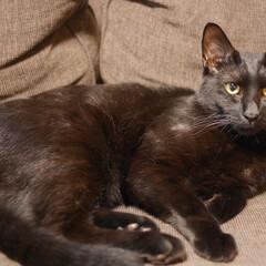 兄妹猫/きょうだい猫/保護猫出身/保護ねこ/保護猫/猫 みーくんです。警戒心が強くて孤高の貴公子…