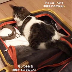 旅行/にゃんこ/癒やし/ねこ/うちのにゃんこ/猫と暮らす/... ディズニーへ行く準備をしている娘♡ その…