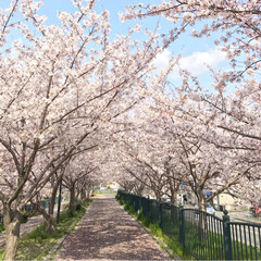 ピクニック/桜が満開/桜/春のフォト投稿キャンペーン/令和カウントダウン/春/... *2019.4.15* こんばんは(*´…