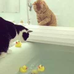 お風呂/ペット/ダイソー/ねこ/にゃんこ/猫 うちのにゃんこ達♡ 名前は、みかん(茶と…