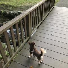 チョコタンチワワ/犬の散歩/チワワ/フォロー大歓迎/LIMIAおでかけ部/LIMIAペット同好会/... 今日はいつもと違ったお散歩コースへ。 空…