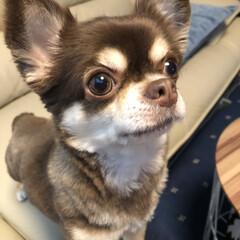 愛犬/チョコタンチワワ/chiwawa/チワワ/LIMIAペット同好会/わんこ同好会 ジーっと何かを見つめているハミコさん。 …(1枚目)