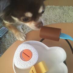 おままごと/チョコタンチワワ/チワワのいる生活/チワワ/ペット/犬 今日のハミコさん。 娘のおもちゃのお弁当…(1枚目)
