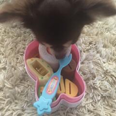 おままごと/チョコタンチワワ/チワワのいる生活/チワワ/ペット/犬 今日のハミコさん。 娘のおもちゃのお弁当…(2枚目)