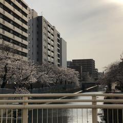 旅行/春/春休み/関東上陸/ソメイヨシノ/風景/... 春休みは北海道を離れて関東に来ています。…