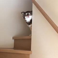 ホラー可愛い/チワワのいる生活/ホラー/チワワ画像/チワワ/犬/... 階段からぬぅっとこっちを見つめてるハミコ…