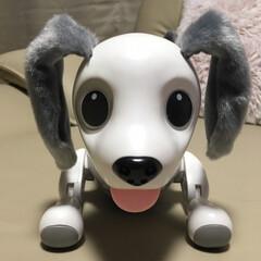 ロボット型/チョコタンチワワ/チワワのいる生活/チワワ/ペット/ペット仲間募集/... 我が家に突如やってきたロボット型ダックス…