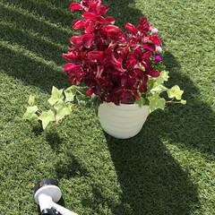 ホームセンター購入品/人工芝/寄せ植え/庭/花のある暮らし/花 ホームセンターのセール品狙って、寄せ植え…