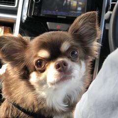 犬と暮らす/犬との暮らし/チョコタンチワワ/chiwawa/チワワ/フォロー大歓迎 夫帰省で車に乗ってお出かけ〜。 一番前が…(1枚目)
