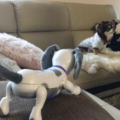 チョコタンチワワ/ロボット型/チワワ組/ちわわ/チワワロング/ペット/... 犬型ロボットのシロは、尻尾を振ったりお手…