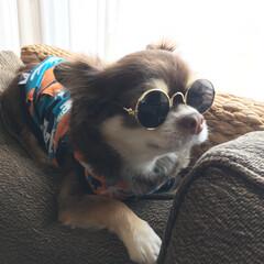 サングラス/ペットと暮らす/チワワのいる生活/ちょいワル/チワワ/ペット/... ちょいワルなハミコさんが付けているのは犬…