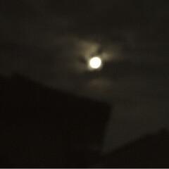 cotta/お月見だんご/中秋の名月 お月見のうさぎさん団子 作ってみました。…(2枚目)