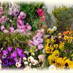 サクラソウ/ガーデニング/ビオラ/パンジー/春のフォト投稿キャンペーン/平成最後の一枚/... 今年も庭のお花がいっぱい元気に咲いてくれ…