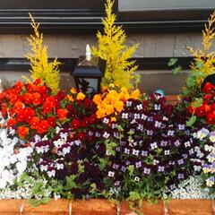 ビオラ/ガーデニング/花/春 庭のビオラです。いっぱい咲いてくれました…